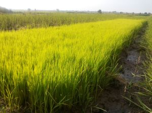 Rice farming may be lucrative based on market demand but  has lots of demands.