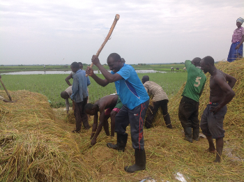 threshing_rice